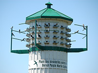 Hirondelles noires du parc Valois
